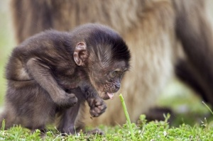 Infant male gelada baboon playing with grass shoot